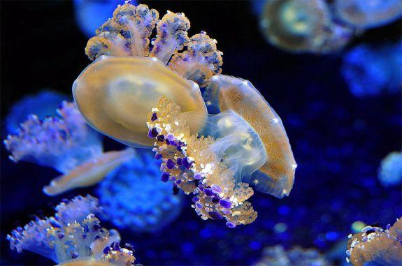 800px-mediterranean-jellyfish-af